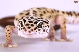 an image of Best%20Pet%20Reptiles%20For%20Beginners Best-Pet-Reptiles-For-Beginners_1481754393384.jpg
