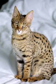 an image of Exotic%20Pet%20Cats Exotic-Pet-Cats_1481756165743.jpg