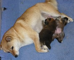 how much food should I feed my dog after giving birth